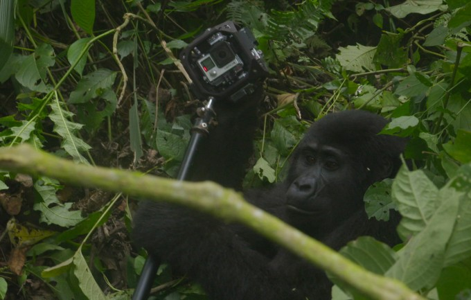 This is what a gorilla taking a 360 selfie looks like, in case you were wondering.